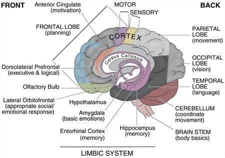 human-brain-011