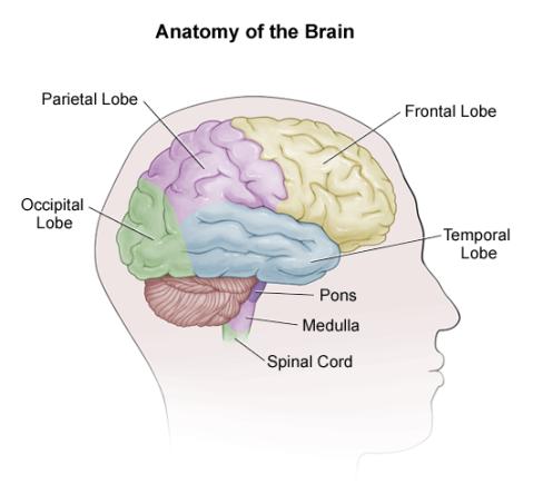 brain_anatomy